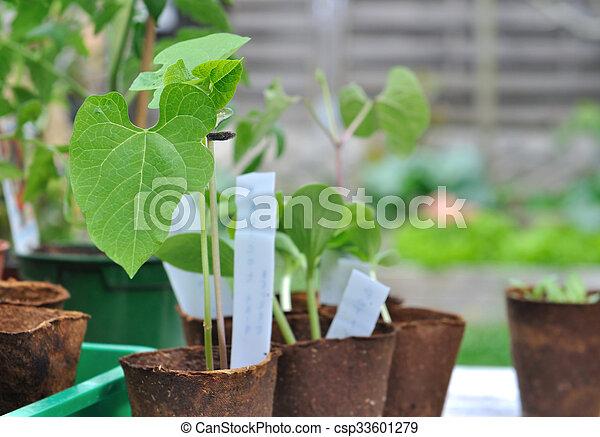 boon, seedlings, buiten - csp33601279