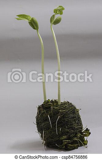 boon, seedlings - csp84756886