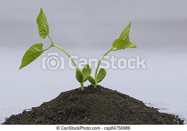 boon, seedlings - csp84756986