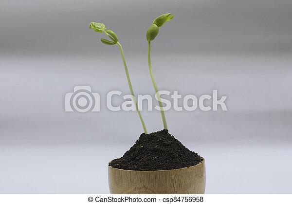boon, seedlings - csp84756958