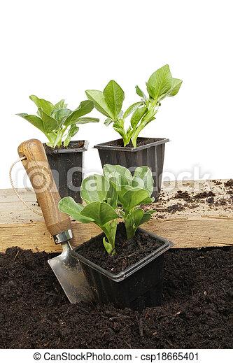 boon, seedlings - csp18665401