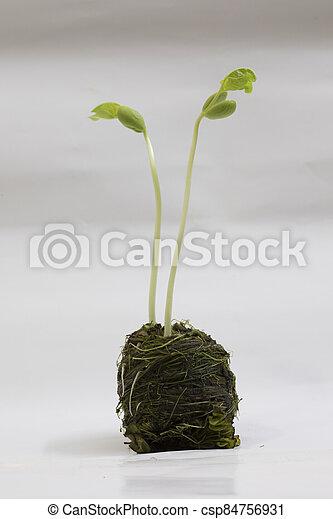 boon, seedlings - csp84756931