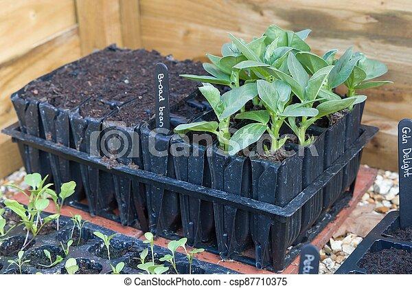 brede bonen, seedlings, groeiende, roottrainers, groente, uk - csp87710375