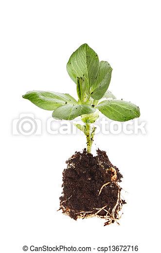 brede boon, kiemplant - csp13672716