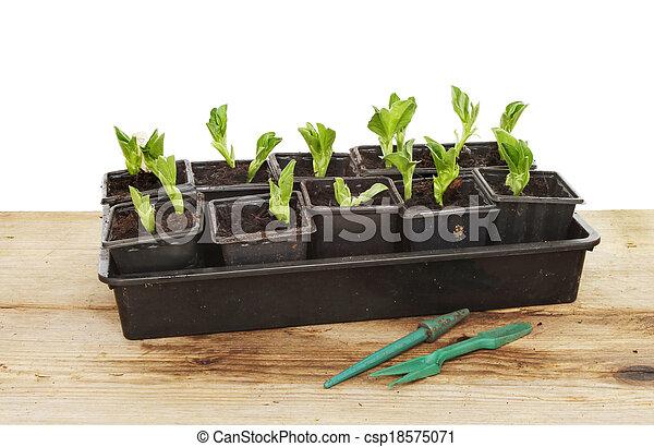 brede boon, seedlings - csp18575071