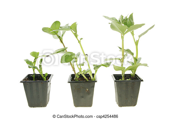 brede boon, seedlings - csp4254486