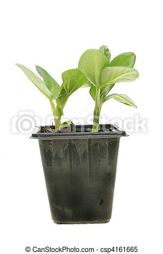 brede boon, seedlings - csp4161665