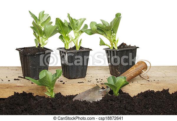 brede boon, seedlings - csp18872641