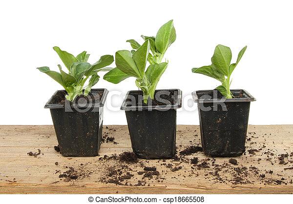 brede boon, seedlings - csp18665508