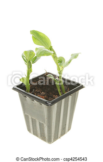 brede boon, seedlings - csp4254543