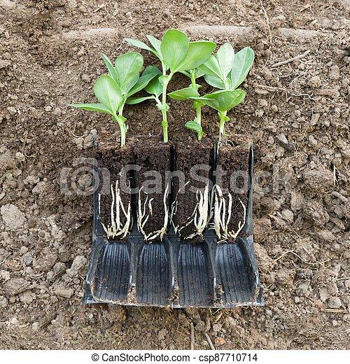 breed, terrein, boon, wortels, planten, seedlings, jonge, groente - csp87710714