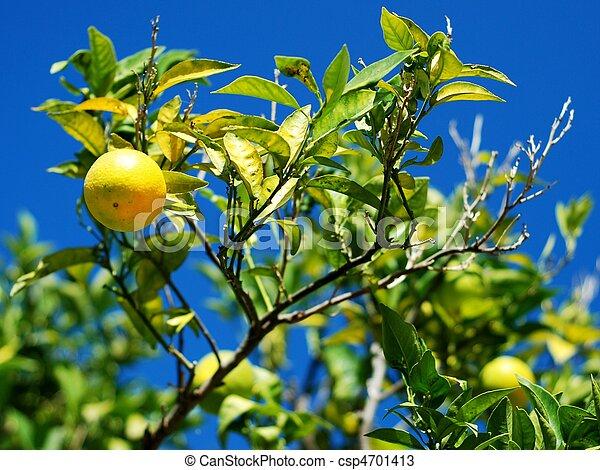 citroenboom, citroenen, velen - csp4701413