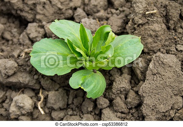 groente, brede bonen, tuin, kiemplant - csp53386812