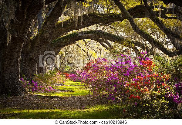lente, spaanse , eik, bomen, plantatie, leven, azalea, mos, bloeien, sc, charleston, bloemen, bloemen - csp10213946