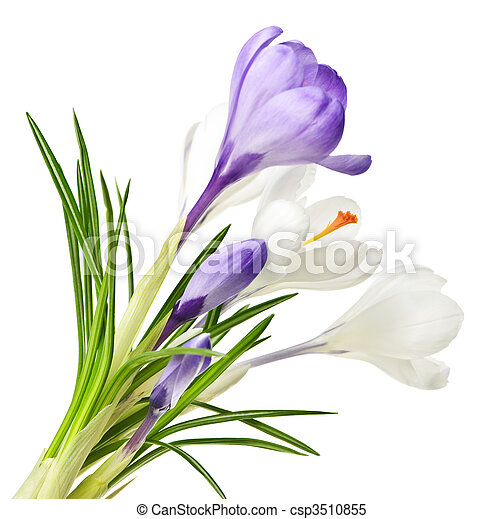 lentebloemen, krokus - csp3510855