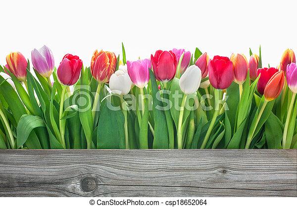 lentebloemen, tulpen - csp18652064