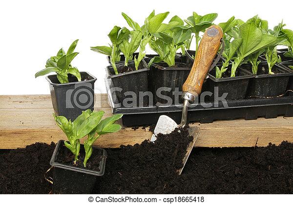 planten, brede boon - csp18665418