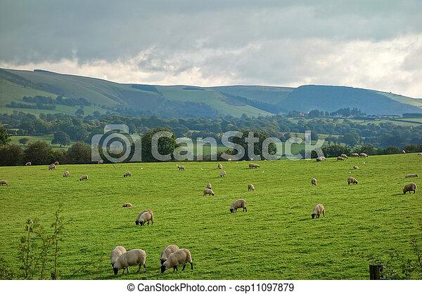 schaap, platteland, velden, heuvels, grazing., wales - csp11097879