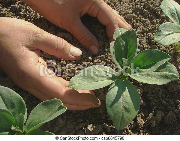 seedlings, bonen, hoeing - csp6845790
