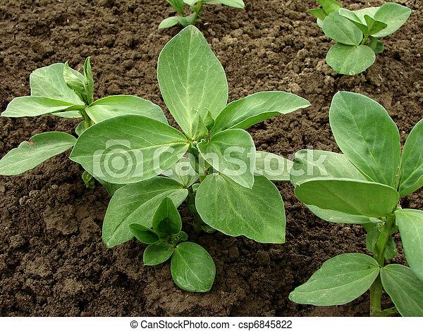 seedlings, bonen - csp6845822