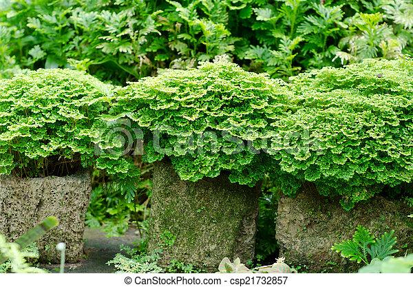 tropische , bladeren, tuin, minuscuul, varen - csp21732857