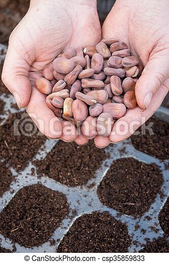 vasthouden, tuinman, bonen, boven, breed, zaad, vrouwlijk, handfuls, lagen - csp35859833